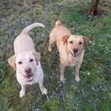 Murfy & maya, croisés labrador de 4 ans, Chien labrador retriever à adopter