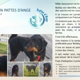 Bobby, Chien beauceron à adopter