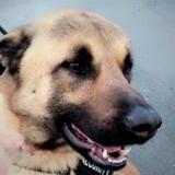Laiko, Chien berger belge à adopter