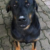 Loula, Chien beauceron à adopter