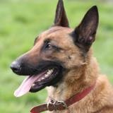 Candice, Chien berger belge à adopter