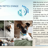 Paco, Chiot fox-terrier à adopter