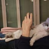 Nougat, Chat norvégien, européen à adopter