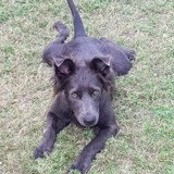 Loulouz, jeune chienne croisée créole, Chien à adopter