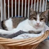 Léo, Chat européen à adopter