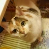 Lise, Chat européen à adopter