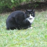 Marius, Chat européen à adopter