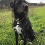 Seiko, Chien border collie à adopter
