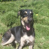 Jumanee, jeune chienne croisée créole, Chiot à adopter