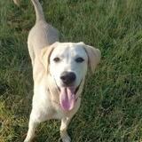 Pato, jeune chien mâle croisé labrador, Chiot à adopter