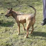 Eloha, belle chienne croisée créole., Chien à adopter