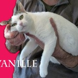 Vanille super gentille, Chat à adopter