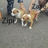 Zape, Chiot à adopter