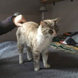 Ondine, Chat siamois à adopter