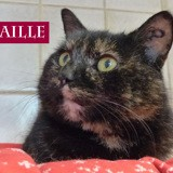Ecaille toute belle, Chat à adopter