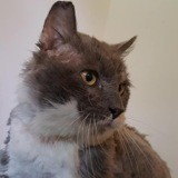 Rodrigue, Chat à adopter