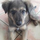 Phoebus, Chiot à adopter