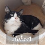Hubert, Chat à adopter