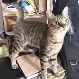 Loki, Chat européen à adopter
