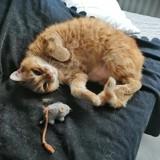 Mollie, Chat européen à adopter