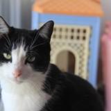Filou chat blanc/noir de 3 ans 1/2, Chat à adopter