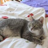 Fun chat tigré/gris de 2 ans 1/2, Chat à adopter