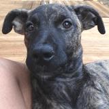 Bringelle, Chiot cane corso à adopter