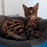 Legende, Chat bengal à adopter