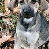 Gipsie, Chiot à adopter