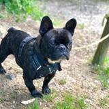 Pooky, Chien bouledogue français à adopter