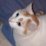 Nestor, Chat européen à adopter