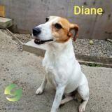 Diane, Chien fox-terrier à adopter