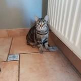 Orphee, Chat européen à adopter