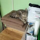 Olympe, Chat européen à adopter