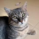 Greygoose, Chat à adopter