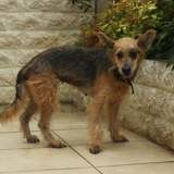 Coquine, Chien fox-terrier à adopter