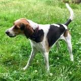 Yoyo, Chien beagle-harrier à adopter