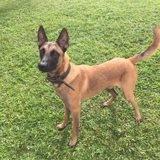 Samy, jeune chien mâle, croisé malinois, Chien à adopter