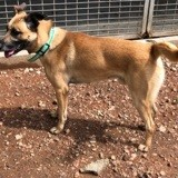 Otto, Chien berger belge à adopter
