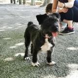 Doudou, Chien cairn terrier, fox-terrier à adopter