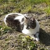 Malvina, Chat européen à adopter
