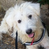 Iban, Chien à adopter