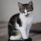 Sirius, Chaton à adopter