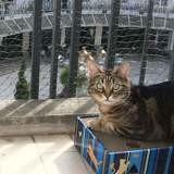 Cookie, Chat européen à adopter