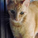 Marquise femelle tigrée/roux de 12 ans 1/2, Chat à adopter
