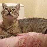 Amanda femelle tigrée/beige de 5 ans, Chat à adopter