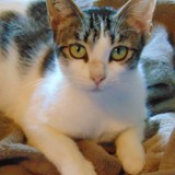 Rosaline femelle tigrée de 1 an, Chat à adopter