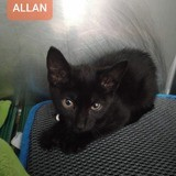 Allan, Chaton européen à adopter