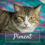 Piment, Chat européen à adopter