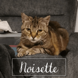 Noisette, Chat européen à adopter